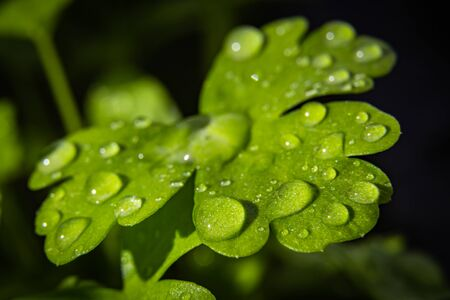 Green fresh parsley leaf dewy with water. Macro photography. Selective Focus. Close up.