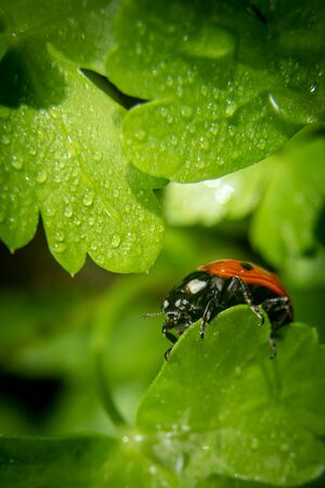 Ladybug on a parsley leaf on a beautiful spring day with green natural background. Macro photography, selective focus.