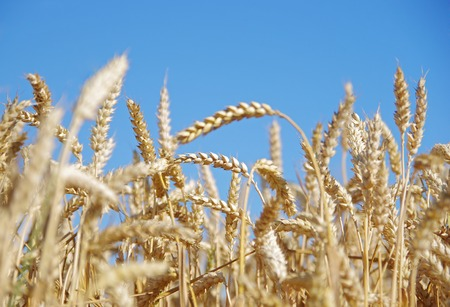 Wheat ears in the field and blue sky on the background photo