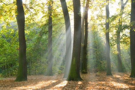 Sun rays in a forest photo
