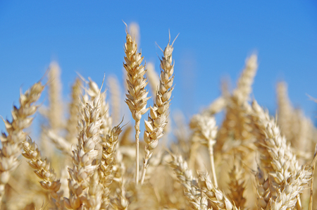 Wheat ears in the field and blue sky on  photo