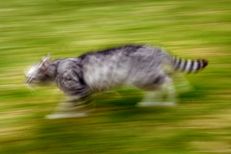 run faster: Grey cat moving very fast Stock Photo