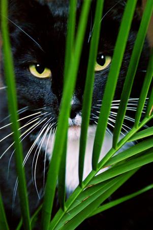 lurk: Black cat looking through green palm leaf