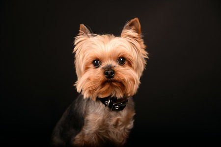 Portrait of Yorkshire Terrier against black background Stock Photo