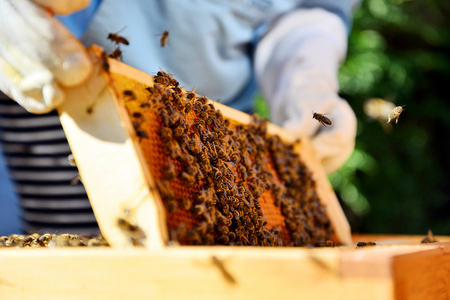 Close up of wooden frame with honey cells. Bees on honey cells.  Stock Photo