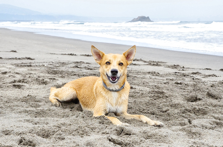 Portrait of dog lying on the sandy beach. Ocean in the background.