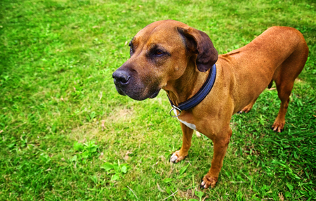 Portrait of a ridgeback dog outside. Green grass in the background.