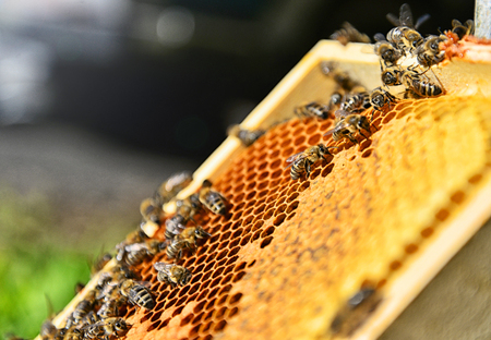 Close up of a lot of bees on the honeycomb. Blurred background on sunny day. Beekeeping concept.  Standard-Bild