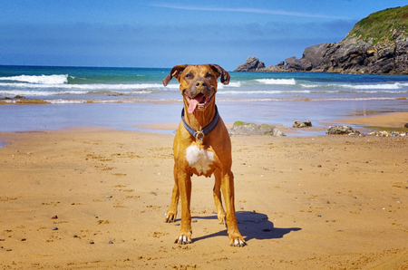 Brown ridgeback dog on the beach. Funny smiling dog with tongue out. Sandy beach and sea in the background.   Stock fotó