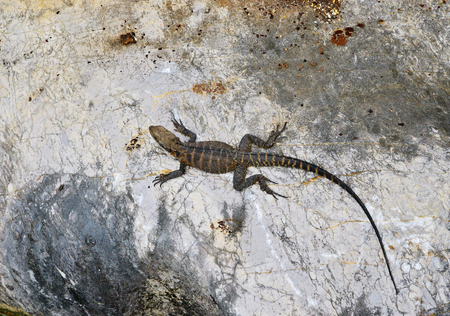 Top view of a lizard sitting on the stone. Long tailed reptile in the nature. Wildlife concept. Standard-Bild - 100202894