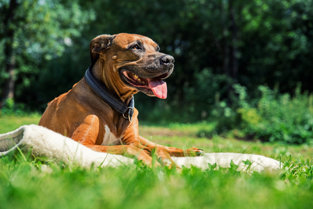 Ridgeback dog lying on the lawn and sticks out its tongue. Happy dog concept. Dog enjoyig the sun outside. Imagens