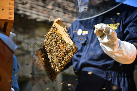 Beekeeper is working in the apiary. Man holding a wooden frame with bees. Imagens