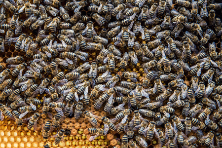 Close up of many bees on the yellow honeycomb. Background with bees and honeycomb. Beekeeping. Imagens