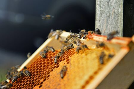 Close up of a lot of bees on the honeycomb. Blured green background. Beekeeping texture.