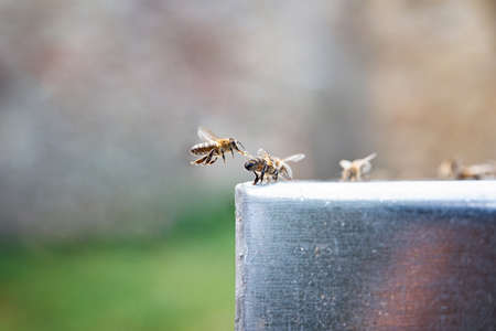 Close up of bees drinking a water. Beekeeping. Thirsty bees. Standard-Bild