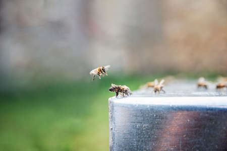 Close up of bees drinking a water. Beekeeping. Thirsty bees. One bee flying above the other. Standard-Bild