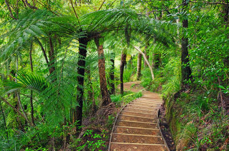 Trekking in the jungle. Amazing walkway in the forest of New Zealand. Beautiful palm trees. Nature of New Zealand.