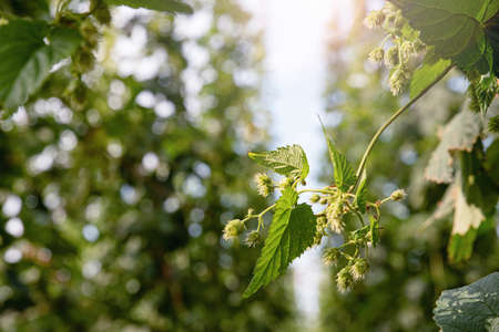 Twig with ripe hops on the farm. Plantation of hops. Humulus Lupulus. Hop garden. Beer hops.