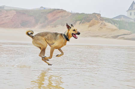 Playful dog on the beach. Dog is running and playing on the beach.