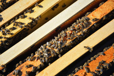 Bees inside the beehive. Wooden frames in beehive. Apiary and beekeeping concpet. Honey production.