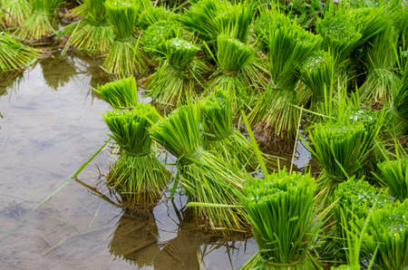 Close up of green rice plants. Bundles of rice plants. Rice fields in Bali, Indonesia. Jatiluwih Rice Terraces. Standard-Bild