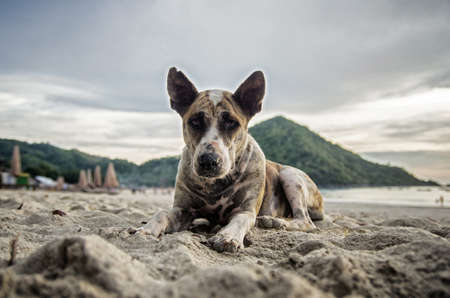 Portrait of a lonely dog laying on the beach. Wounded dog with scar on its nose.