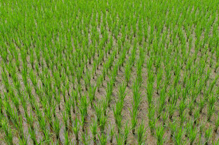 Top view of rice field. Rice plants growing in the ground. Green plants. Agriculture in Indonesia.