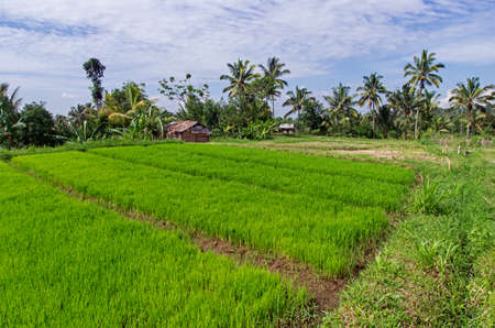View of rice field. Rice plants growing in the ground. Green plants. Agriculture in Indonesia.