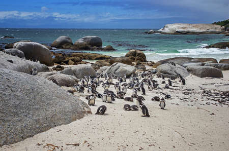 Boulders Penguin Colony, Boulders Beach, Cape Town, South Africa. Black footed penguins. Standard-Bild