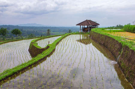 Rice terraces in Bali. Jatiluwih.  Rice growing in Indonesia. Standard-Bild