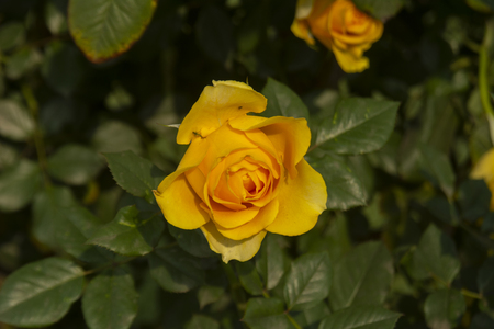 Rose In The Flower Show, Kolkata, India. Stock Photo - 121503053