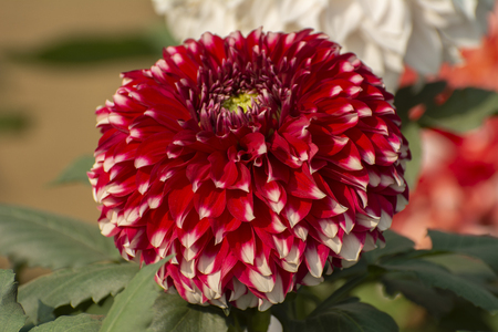 Dalia in The Flower Show, Kolkata, India. Stock Photo - 121503055