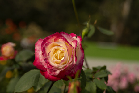 Rose in a Flower Show, Kolkata, India. Stock Photo