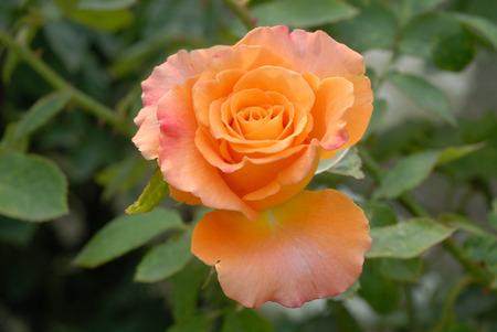 Rose In Kolkata. India.