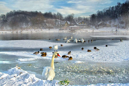 Swans and ducks in the river in winter Stock Photo