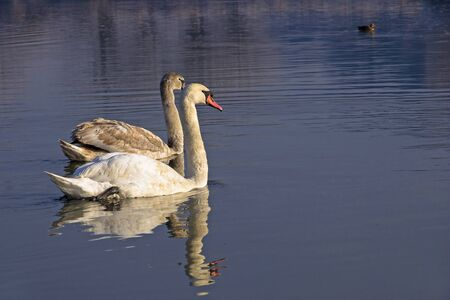 Two swans in Wisla river Stock Photo