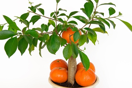 Small orange tree  Isolated on a white