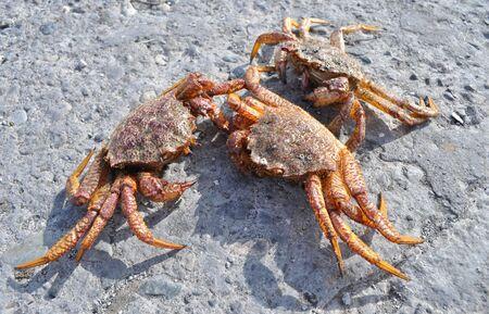 Kamchatkas king crabs on the stone