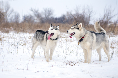 frontal portrait: Two Siberian husky standing in the snow in the meadow Stock Photo