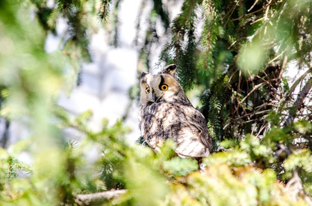 elusive: Long-eared owl sitting on the branches of spruce