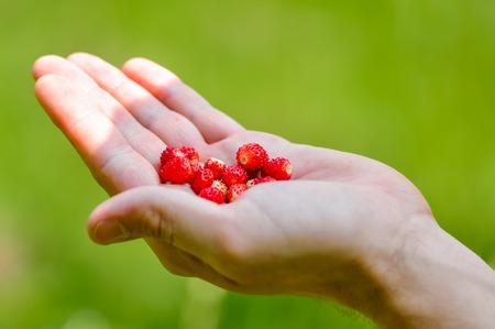 'wild strawberry: wild strawberry in hand. Mature and red Stock Photo
