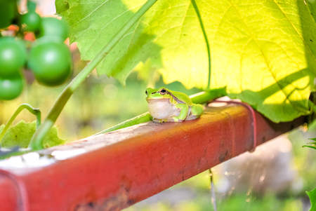 red eyed leaf frog: little green frog sitting on a pipe next to a vineyard Stock Photo