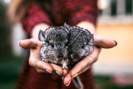Chinchilla Baby Kids sitting on their hands. Two chinchillas Zdjęcie Seryjne - 55356767