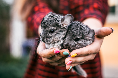 Chinchilla Baby Kids sitting on their hands. Two chinchillas