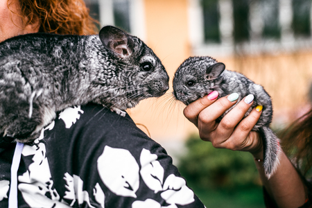 evaluable: Kissing of Mama and Baby Chinchilla in Front View.  sitting on the shoulder