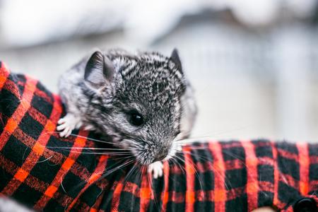 chinchilla: chinchilla sitting on your hands. chinchilla sitting on your hands