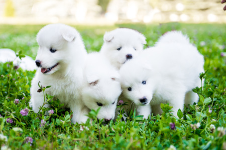 funny puppies of Samoyed dog , or Bjelkier Standard-Bild