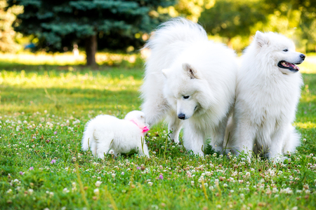 maternal: Family of two Samoyed dogs. Samoyed puppy and adult