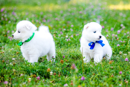 funny puppies of Samoyed dog , or Bjelkier Stock fotó