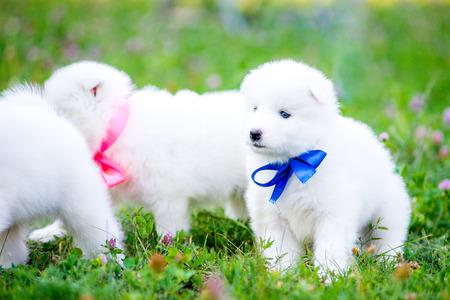 poquito: cachorros de perro samoyedo divertidos, o Bjelkier Foto de archivo